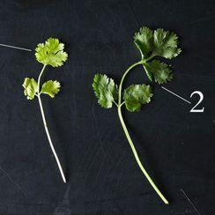 Cilantro: The Divisive Herb