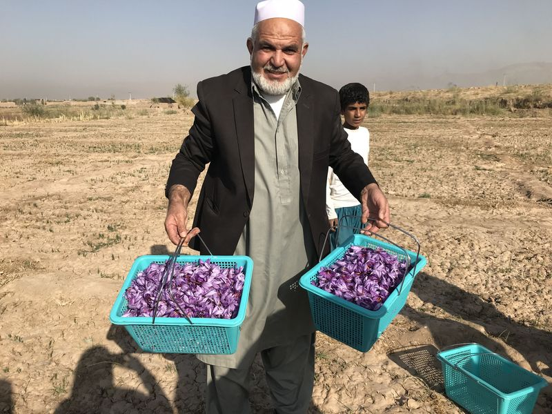Saffron is grown from June to October. In early November, farmers pick the flowers and transport them to the Rumi facilities in downtown Herat.