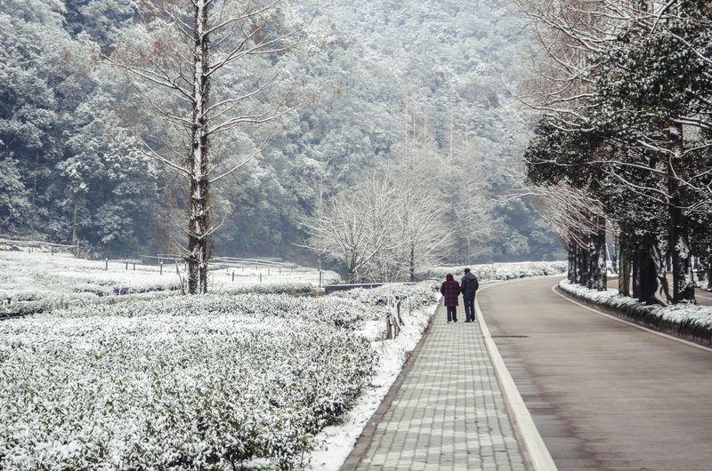 The tea fields of Longjing