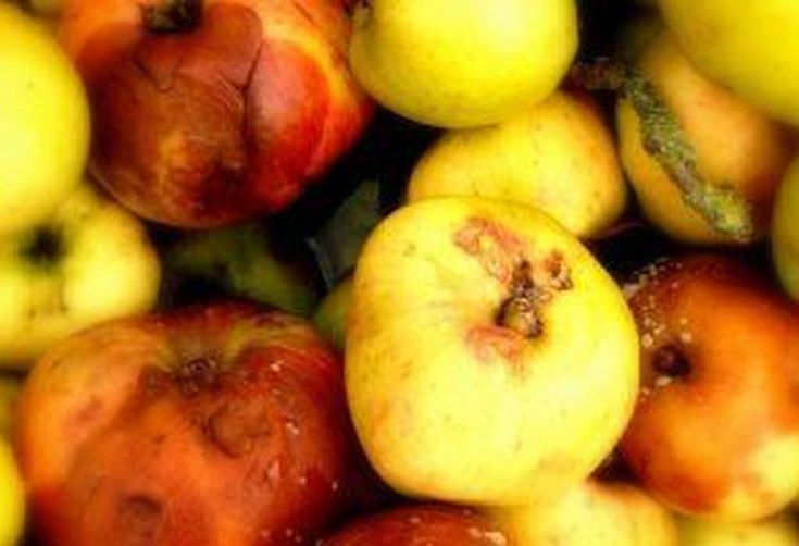 79909fe0-6625-4643-bb87-daae82a7cfe0--full_1360251747bruised-apples-670x300