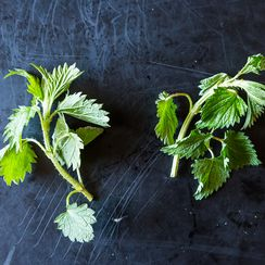 Stinging Nettles and the Best Ways to Eat Them