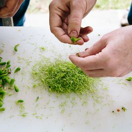 How to Cook with Spruce Tips -- Plus a Wild, Lemony Pilaf