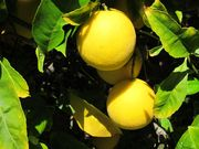 8192e688 c0cf 4fed 885a a8f9a1b1339c  meyer lemon tree0001