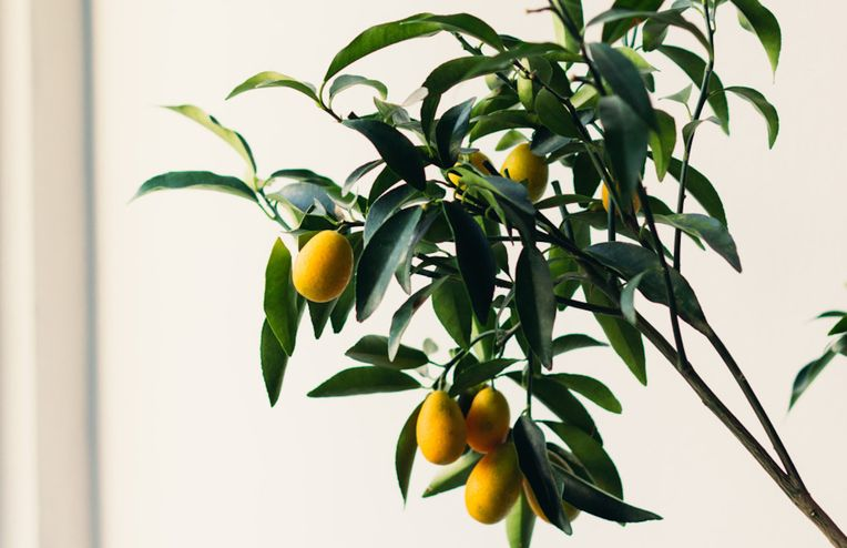 9 Types of Indoor Fruit Trees You Can Grow in Your Living Room