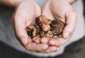 An Insider's Tour of San Miniato, Tuscany, Home of the World's Best White Truffles