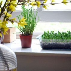 Grow Your Own: Pea Shoots