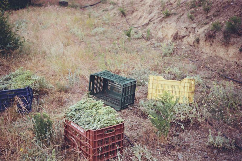 Farming herbs.