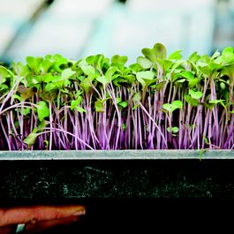 How to Grow an Indoor Kitchen Garden (Starting with Microgreens)
