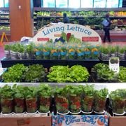 70c490ad b89f 4f90 8473 219dee927398  303391 living lettuce at loblaws have you tried it