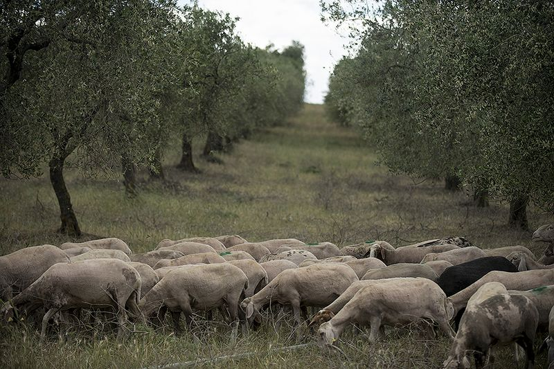 Sheep moseying through, munching on fallen olives.