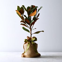 Southern Magnolia Tree Sapling