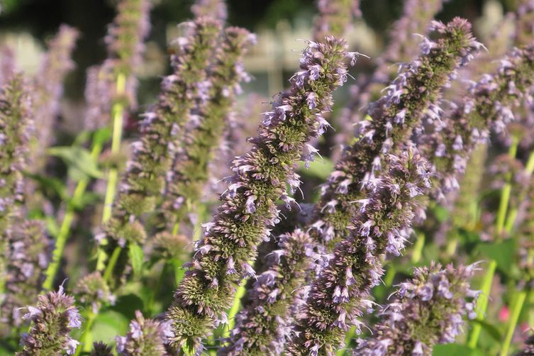 Anise Hyssop Drink