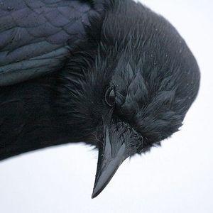 corva