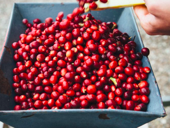 What is Cascara, Starbucks's Newest Latte Flavor?