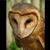 C6f7d8db fa26 4fa6 9280 d8d618bf68e0  barn owl