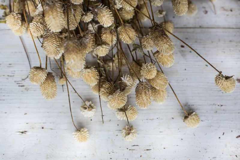 Dried Gomphrena