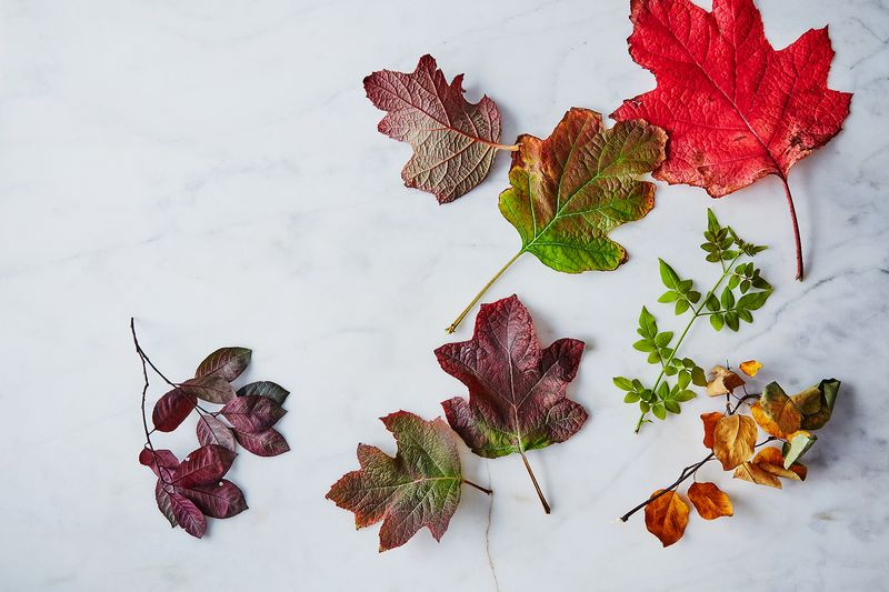 Fall foliage, prior to preserving and pressing.