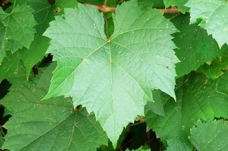 7178ad19 5dbf 4836 a5e7 a729a0497630  concord grape leaves