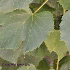 Quinoa Stuffed Grape Leaves