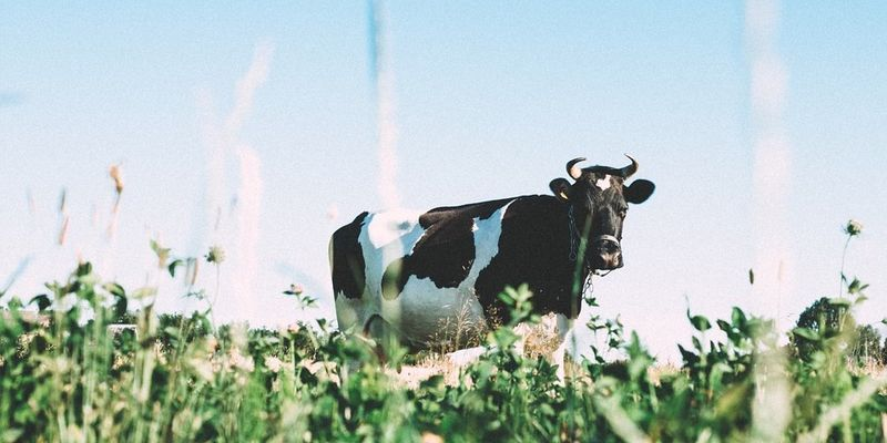 The (not-so-surprising) reason why cows get fed defective candies