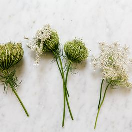 Queen Anne's Lace: The Wild Mother of Carrot (+ A Cognac Apéritif)