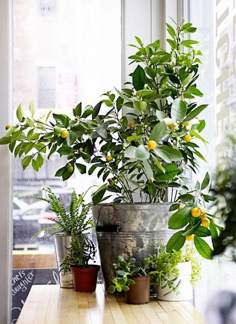 8 Types of Indoor Fruit Trees You Can Grow in Your Living Room