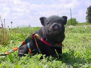 Ef8852e0 12b1 4af0 8390 5fb4b8f1d443  pot bellied pig baby