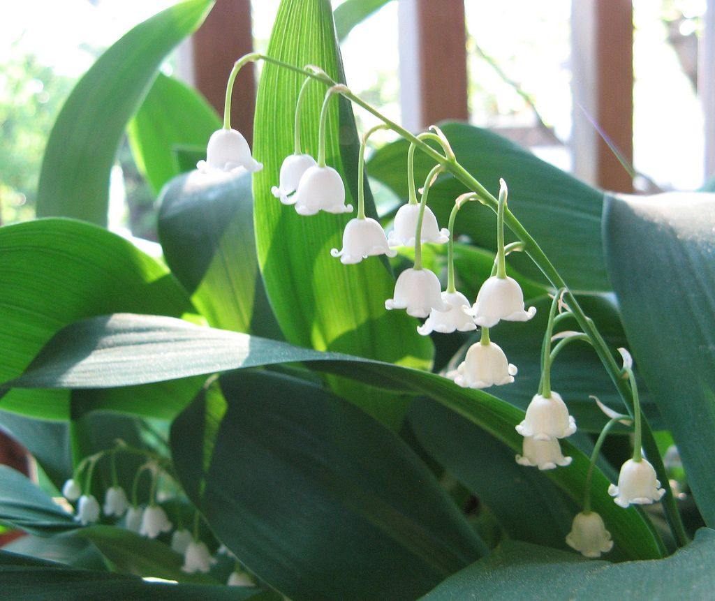 forcing and caring for indoor bulbs this winter