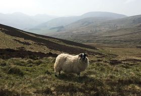 80e10603 bfa9 40e8 b0db 81dfdd609a0f  a sheep in the pentland hills