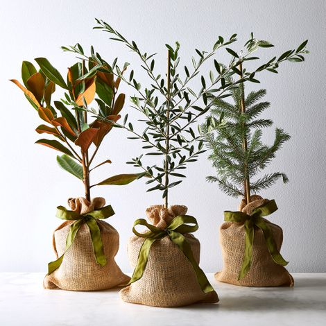 Olive Tree Sapling