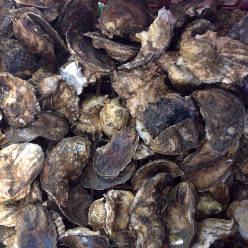 Funky, twisted oysters will correct their shells after a few months.