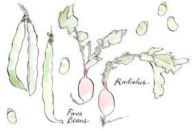 323c3054 bc29 4f5c 9df9 71f4d075a015  drawing fava radish
