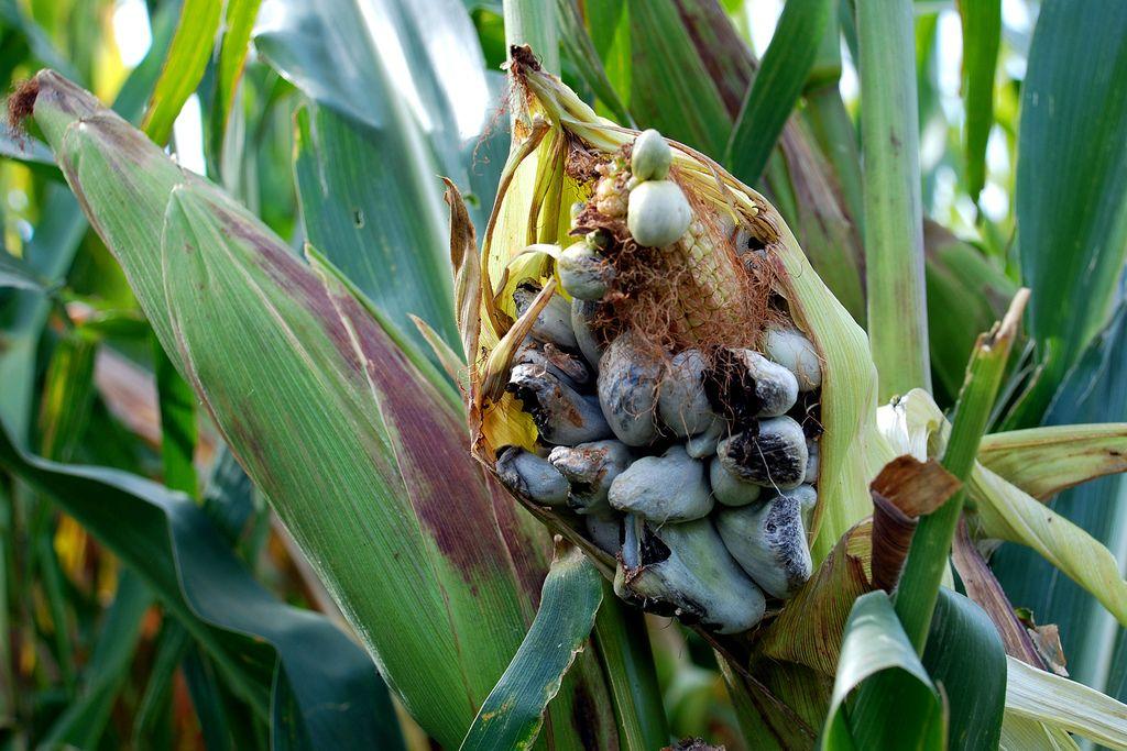 the good corn