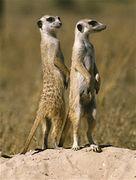 Dc5f23e3 03f5 4e5c abfc 43713aa2342e  meerkat