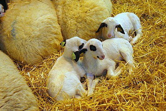 Dark Mocha Lamb