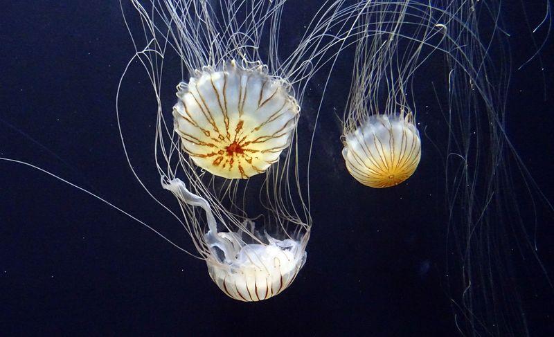 A jellyfish, pre chip.