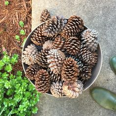 Go Pine Cone Foraging Now, Be Rewarded With Happier Potted Plants
