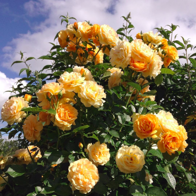 The Story Behind the Rose Named After Julia Child