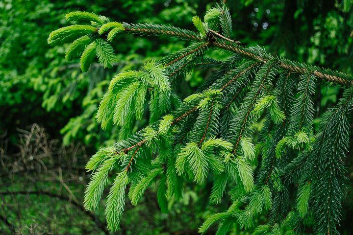 Spring Spruce