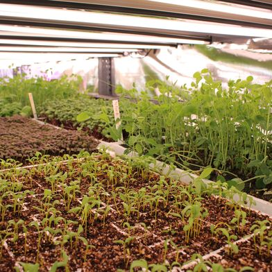 Is Growing Lettuce Like Marijuana the Future of Farming?