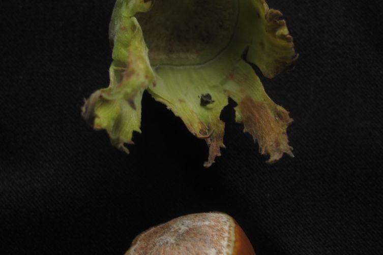 Apple and hazelnut sponge