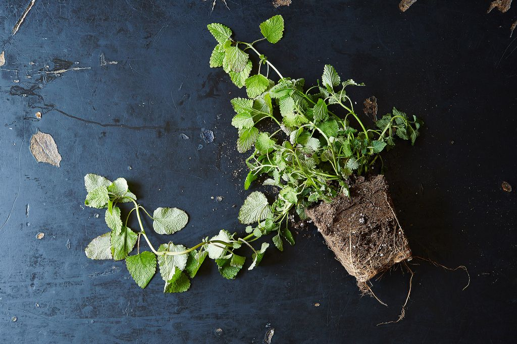 Lemon Balm Plant, from Food52