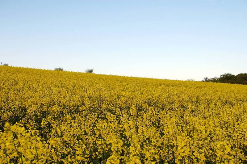 Canola fields in Montoursville, Pennsylvania.