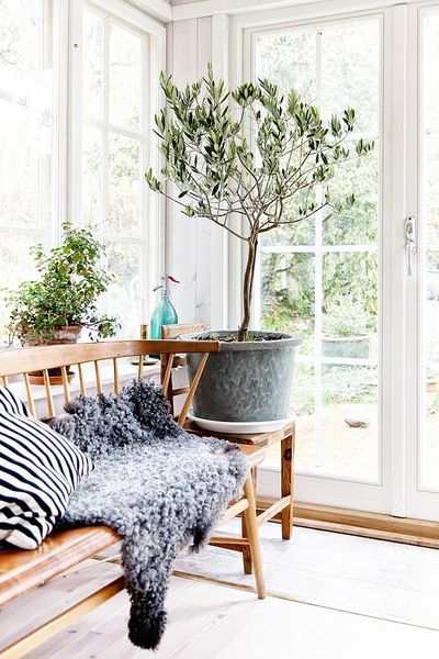 eb112b67 1e12 475e bb60 b96eba156c9b  olivetree12 7 Types of Fruit Trees You Can Grow in Your Living Room