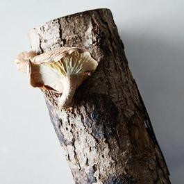 DIY Grow Your Own Shiitake Mushroom Log