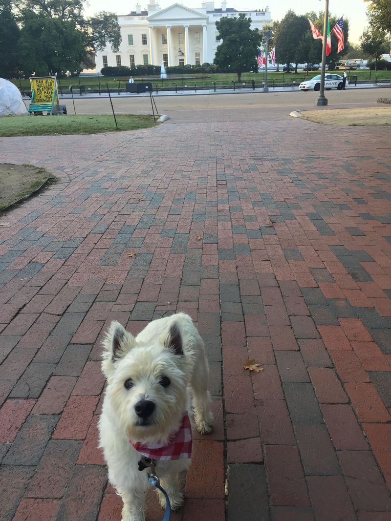 Erin's dog, Brimley, in front of the White House.