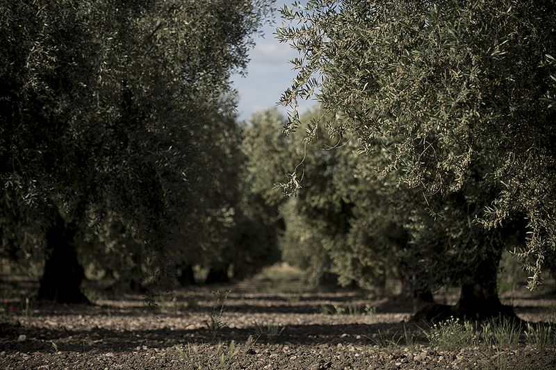 Olive groves in Puglia.