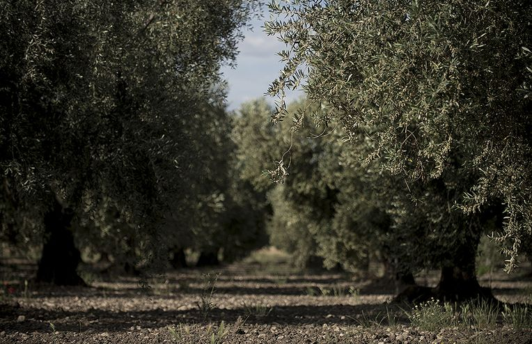 The Groves (& The Family) Behind our Italian Olive Oil CSA