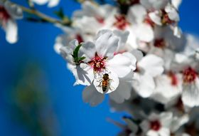Why Disappearing Bees Mean You'll Pay More for Almonds