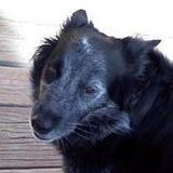 Koda Beardog